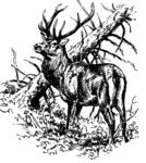 Hirsch 06