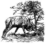 Hirsch 15