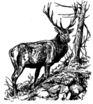 Hirsch 16