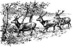 Hirsche trollend