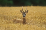 Rehbock im Getreide