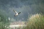 Ente im abstreichend