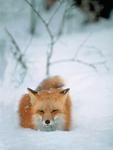 Altfuchs im Schnee 01