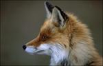 Fuchs äugend